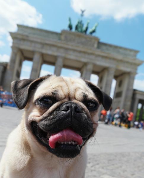 Platz 08_Mops vorm Brandenburger Tor